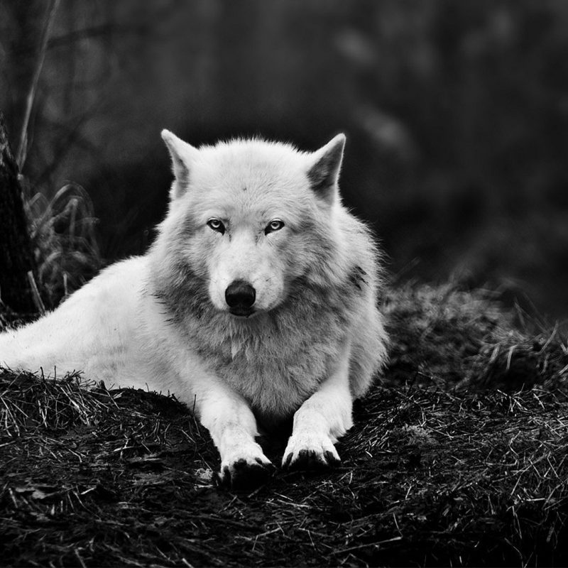 10 Latest Black And White Wolf Wallpaper FULL HD 1080p For PC Desktop 2021 free download free wolf wallpaper high quality long wallpapers 800x800