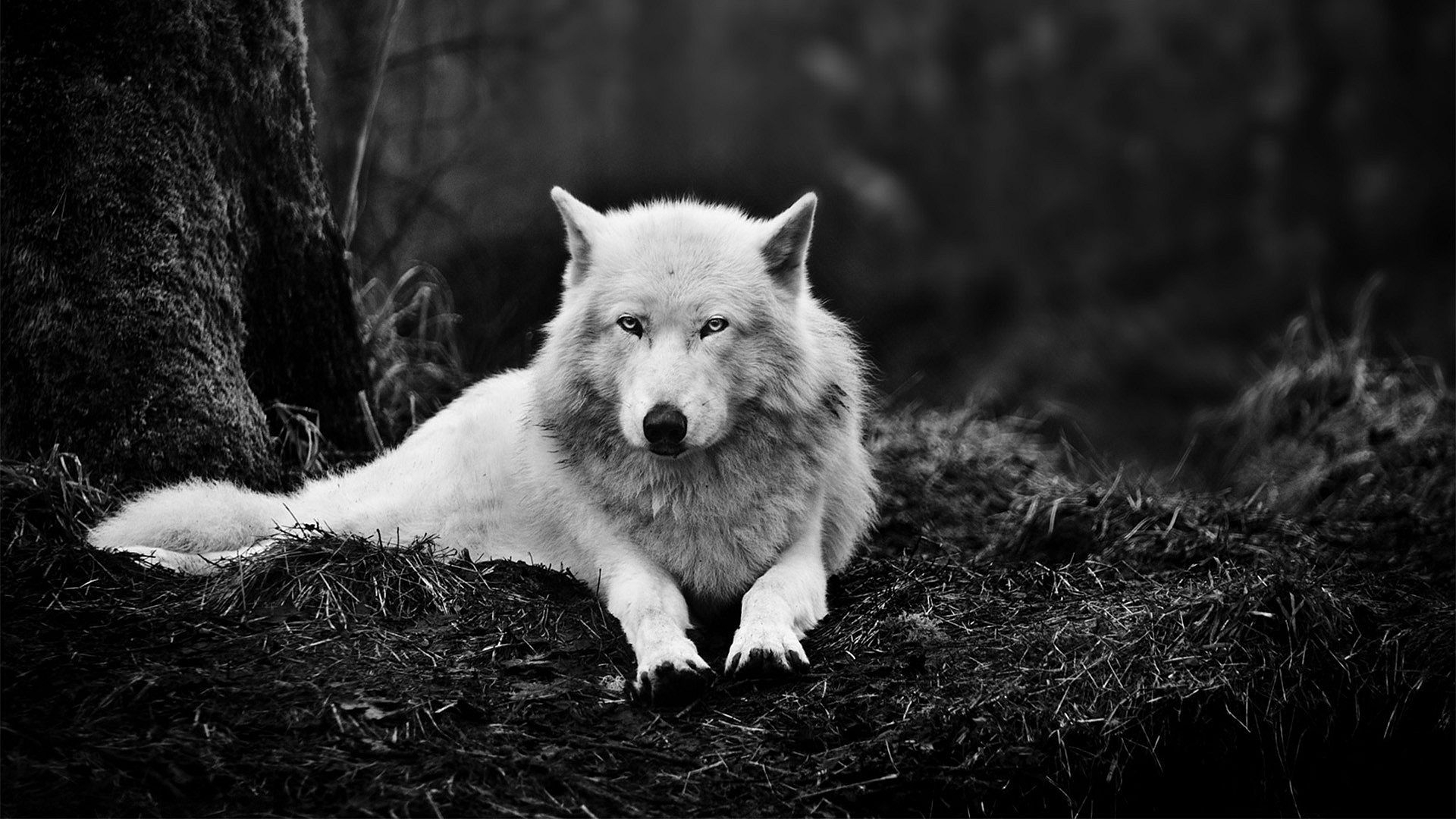 free wolf wallpaper high quality « long wallpapers