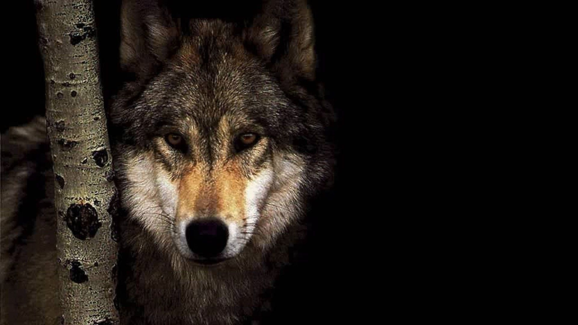 free wolf wallpapers high quality « long wallpapers
