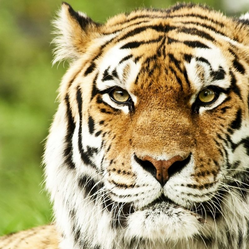10 New Siberian Tiger Wallpaper Hd 1080P FULL HD 1080p For PC Background 2020 free download full hd 1080p tiger wallpapers hd desktop backgrounds 1920x1080 800x800
