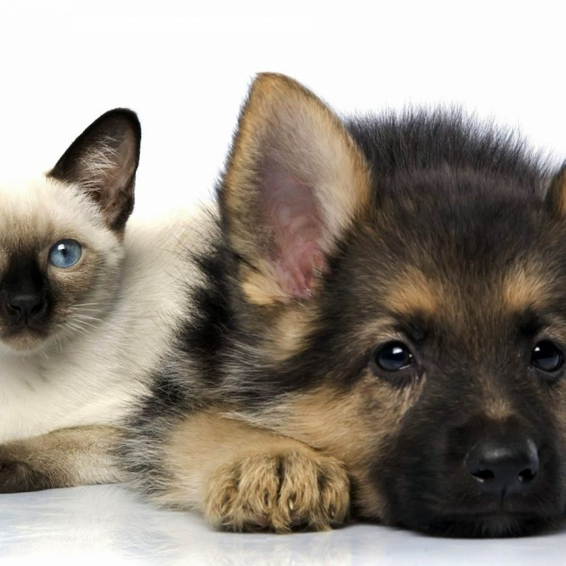 10 Best Dog And Cat Backgrounds FULL HD 1920×1080 For PC Background 2018 free download funny cats and dogs wallpaper free wallpaper download 1280x800 cats 800x800