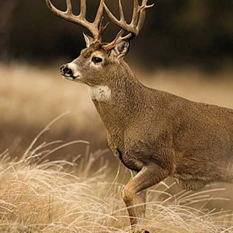 10 Most Popular Monster Whitetail Buck Pictures FULL HD 1080p For PC Desktop 2018 free download georgia monster whitetail deer buck giant whitetail bucks photo 800x800