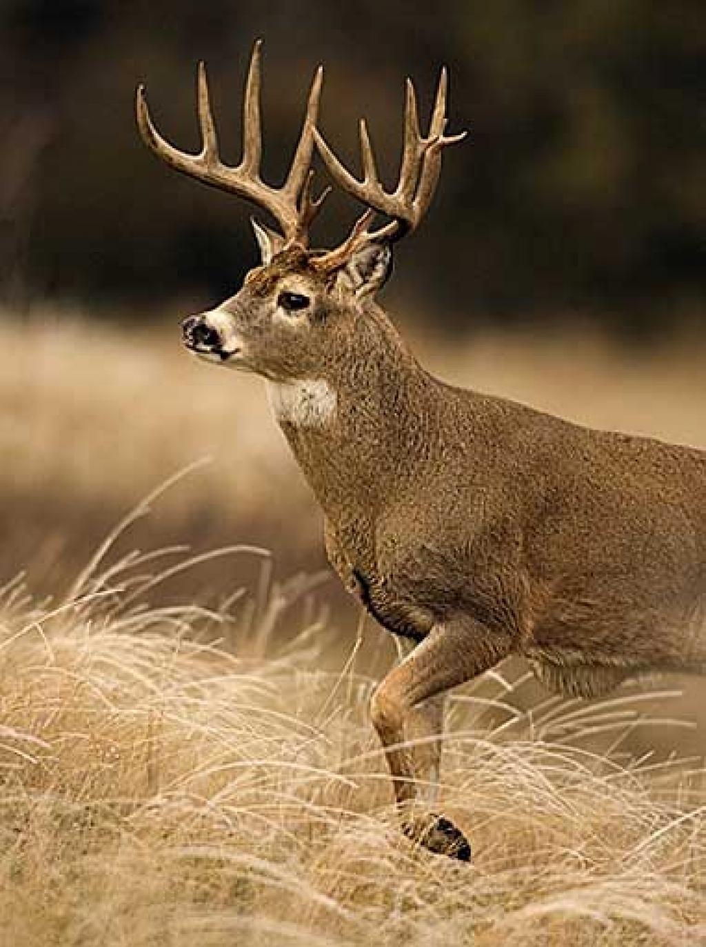 georgia monster whitetail deer buck | giant whitetail bucks -- photo