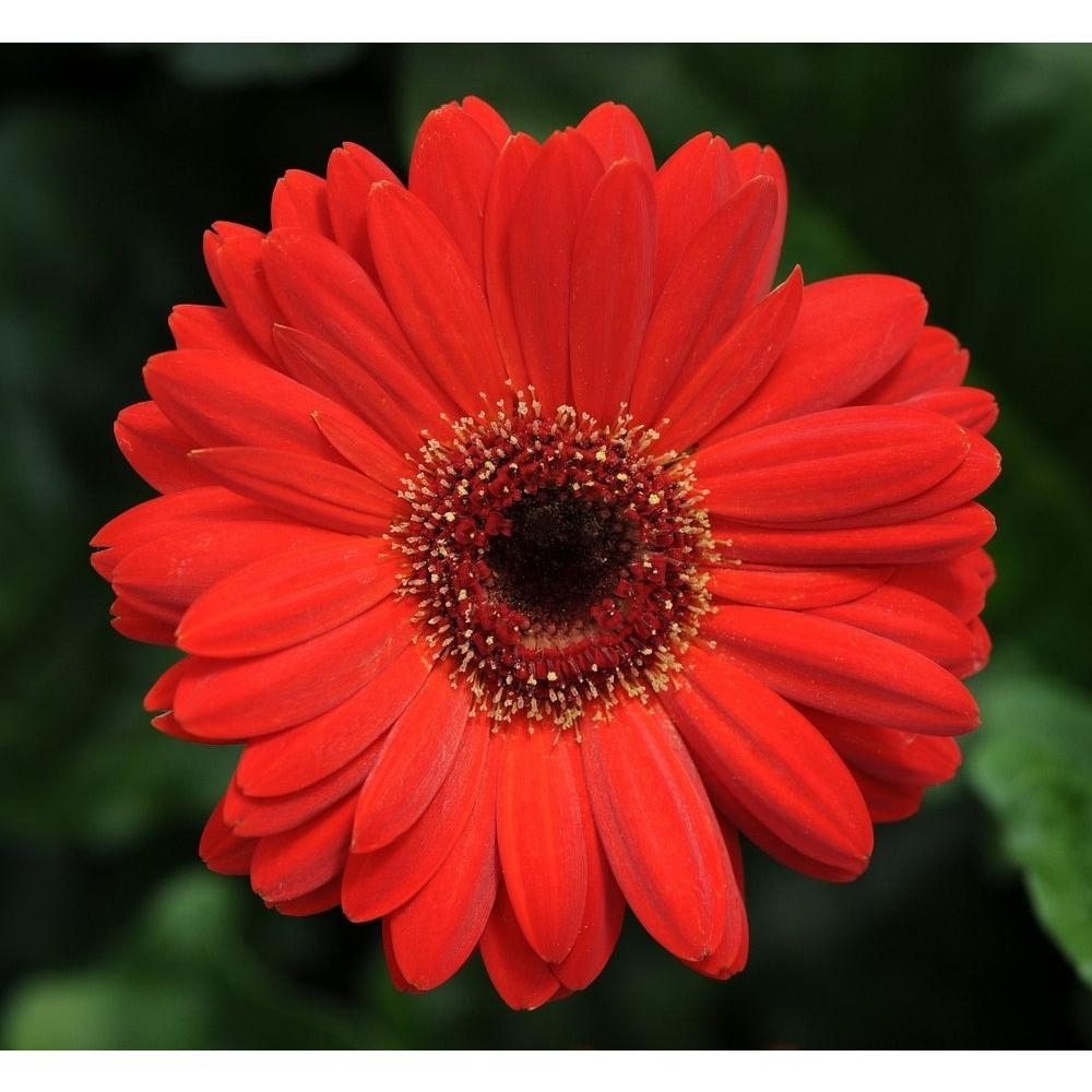gerber daisy-vigqrtgerd - the home depot