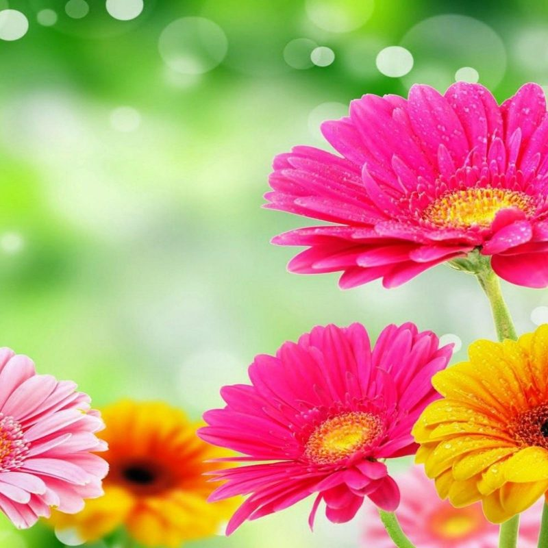 10 Most Popular Pictures Of Gerber Daisies FULL HD 1920×1080 For PC Desktop 2020 free download gerber daisy wallpaper c2b7e291a0 800x800