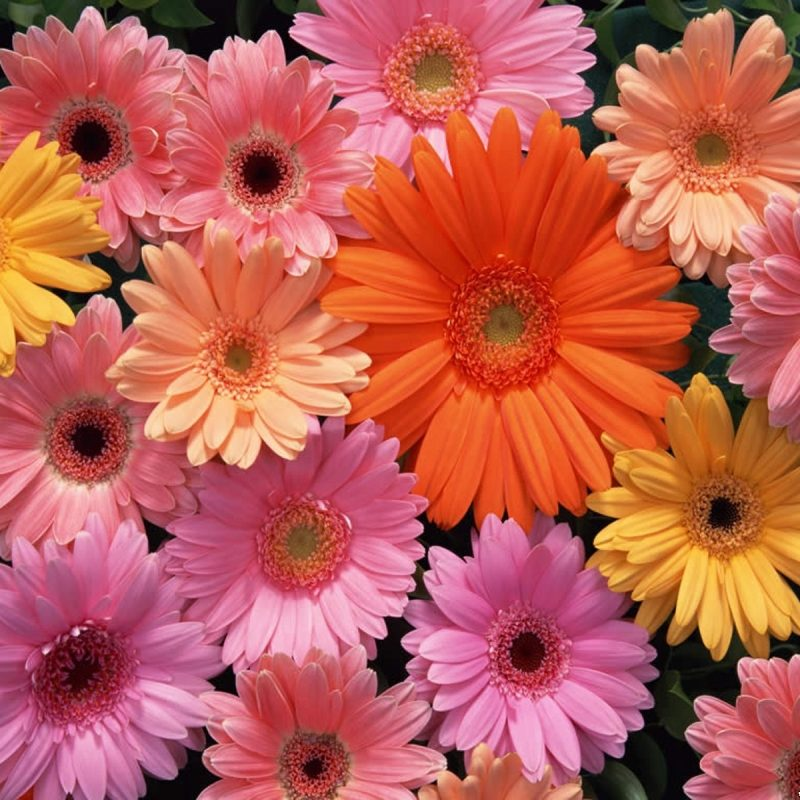 10 Most Popular Pictures Of Gerber Daisies FULL HD 1920×1080 For PC Desktop 2020 free download gerbera daisies wallpapers group 47 800x800