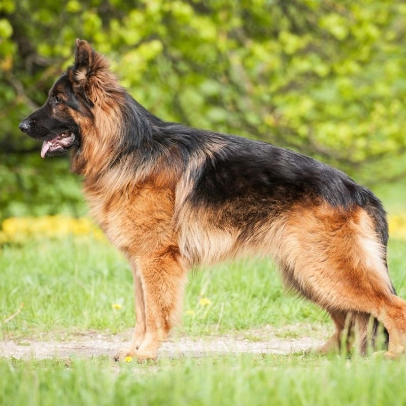 10 Most Popular German Shepherd Dog Images Hd FULL HD 1920×1080 For PC Background 2020 free download german shepherd dog breed animal pictures free download 800x800