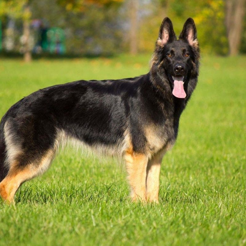 10 Most Popular German Shepherd Dog Images Hd FULL HD 1920×1080 For PC Background 2020 free download german shepherd dog hd and wallpaper images of desktop pics dogs 800x800