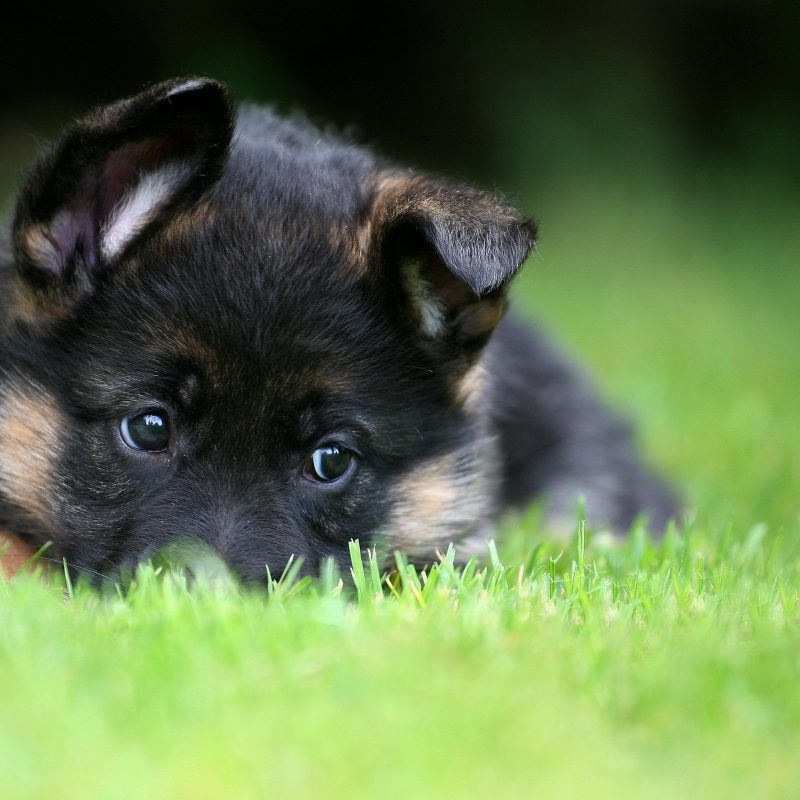 10 Most Popular German Shepherd Puppy Wallpaper FULL HD 1080p For PC Desktop 2021 free download german shepherd puppy pet wallpaper 2560x1600 476085 wallpaperup 800x800