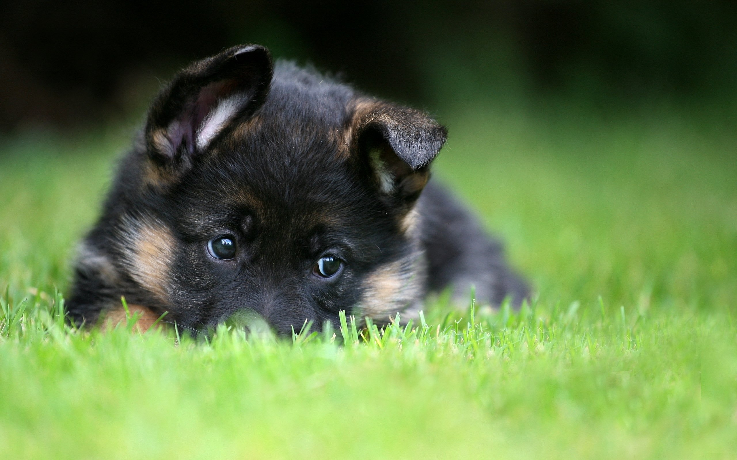 german shepherd puppy pet wallpaper | 2560x1600 | 476085 | wallpaperup