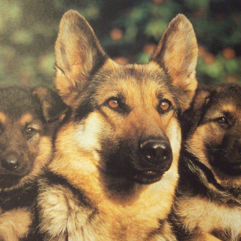 10 Most Popular German Shepherd Puppy Wallpaper FULL HD 1080p For PC Desktop 2021 free download german shepherd wallpapers wallpaper cave 2 800x800