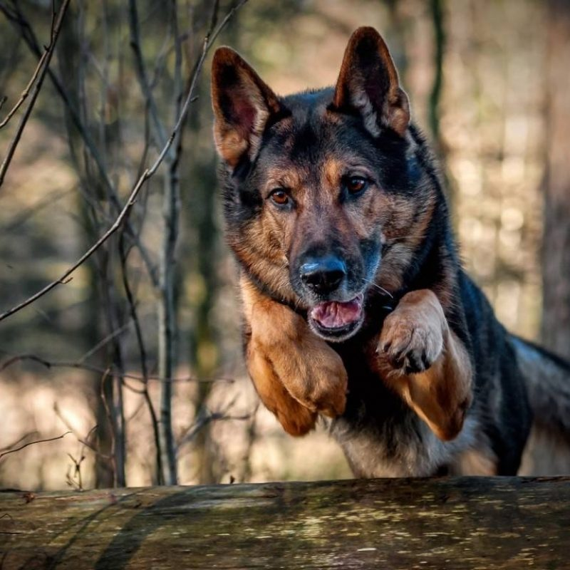 10 Latest German Shepherd Hd Wallpaper FULL HD 1920×1080 For PC Background 2018 free download german shepherd wallpapers wallpaper cave 3 800x800