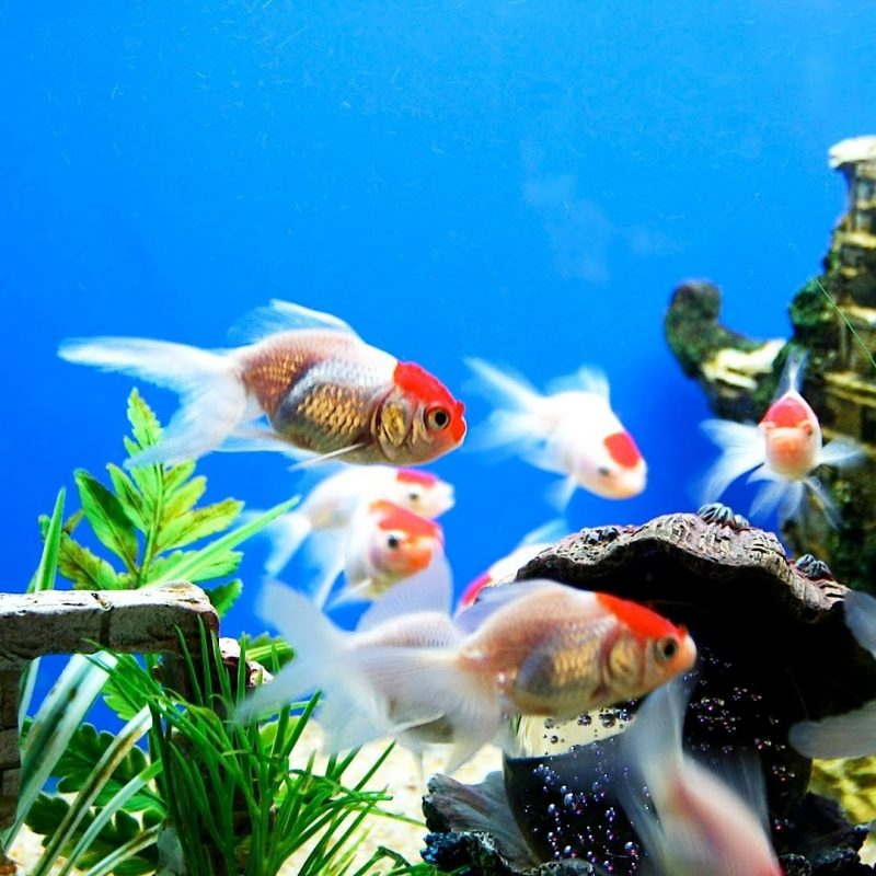 10 Latest Fish Tank Background Wallpaper FULL HD 1920×1080 For PC Background 2020 free download golden fish aquarium background wallpaper media file pixelstalk 800x800