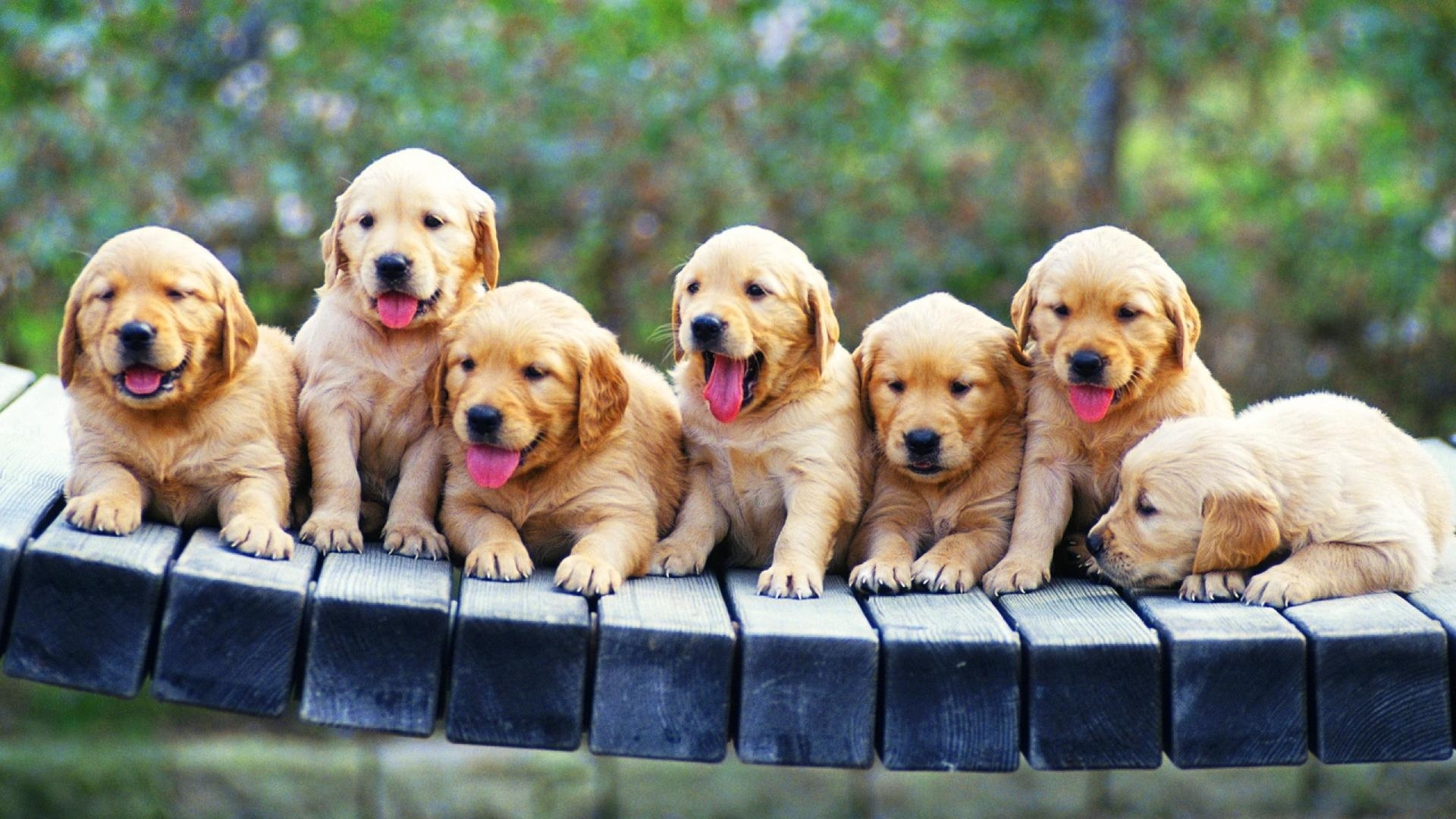 golden retriever puppies wallpaper | (85182)