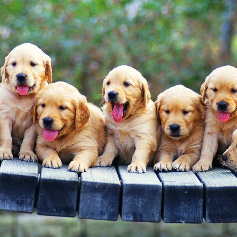 10 New Golden Retriever Puppies Wallpaper FULL HD 1920×1080 For PC Background 2018 free download golden retriever puppies wallpaper 85182 800x800
