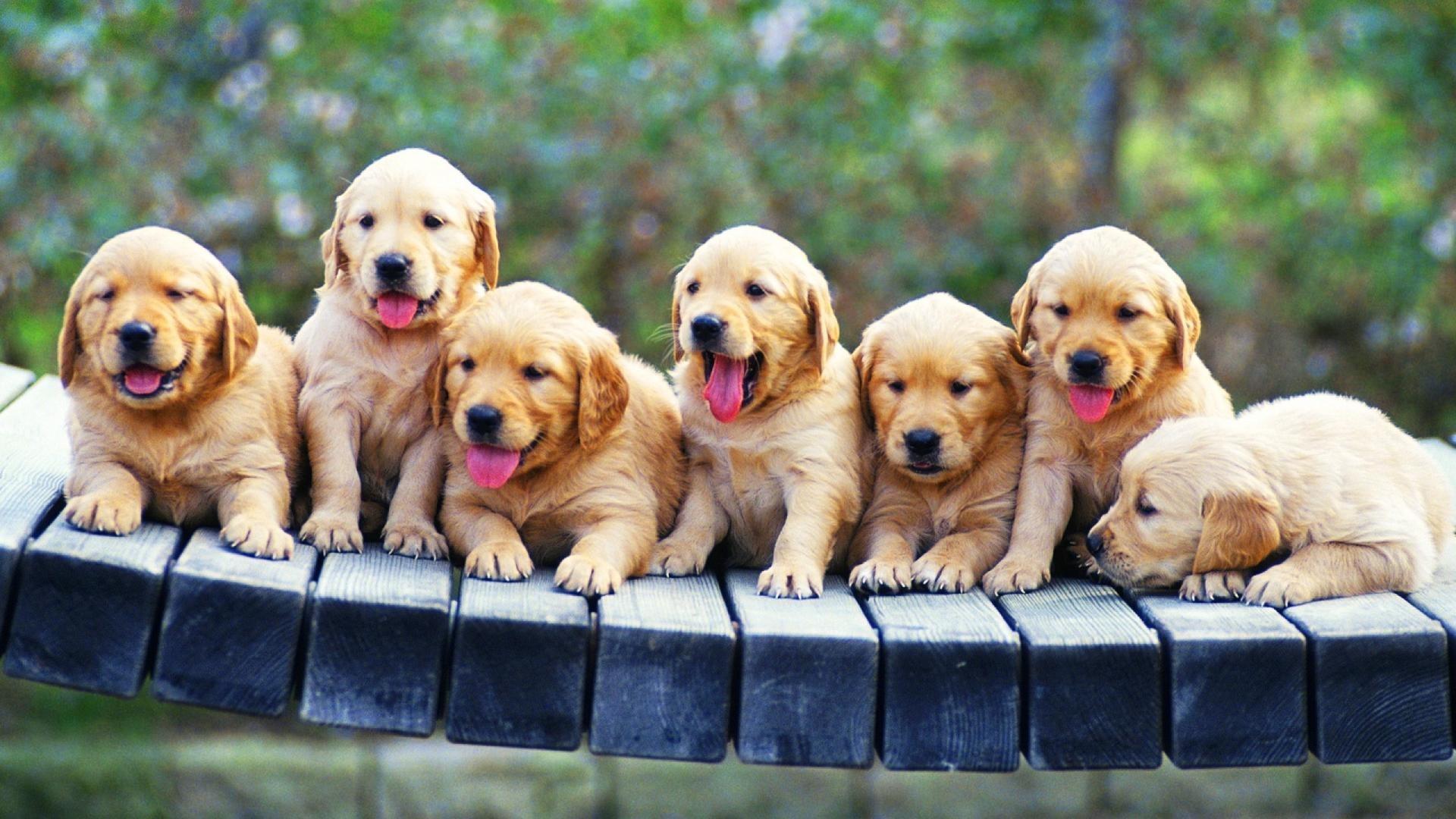 golden retriever puppies wallpaper | (85182)