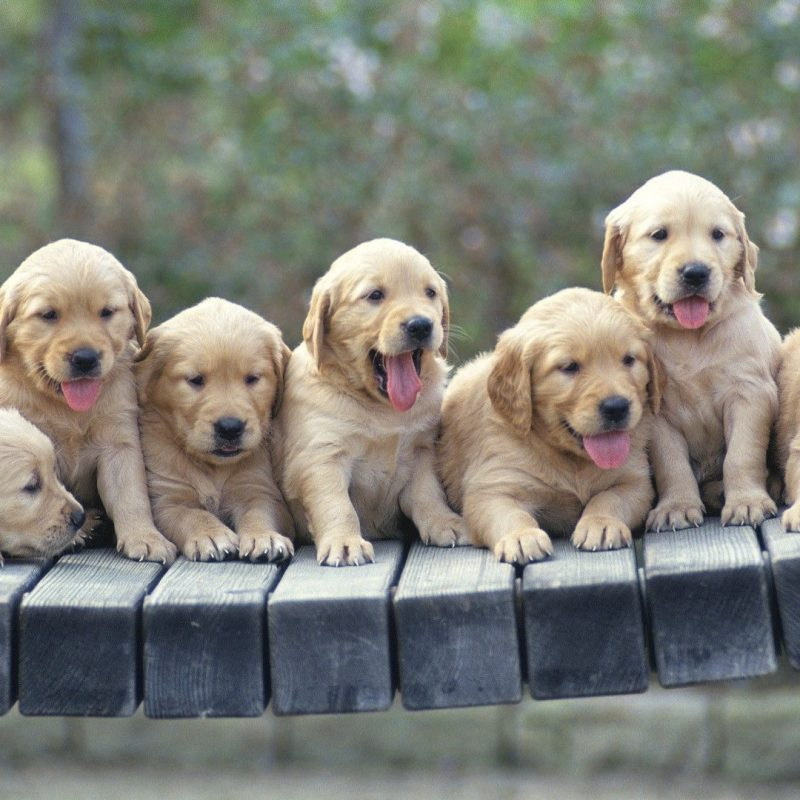 10 Most Popular Golden Retriever Puppy Wallpaper FULL HD 1080p For PC Background 2021 free download golden retriever puppies wallpaper animal wallpapers 48522 1 800x800