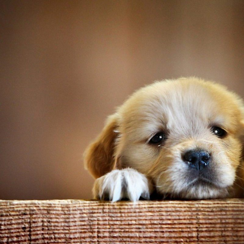 10 Most Popular Golden Retriever Puppy Wallpaper FULL HD 1080p For PC Background 2021 free download golden retriever puppy cute paws hd dog wallpaper 1 800x800