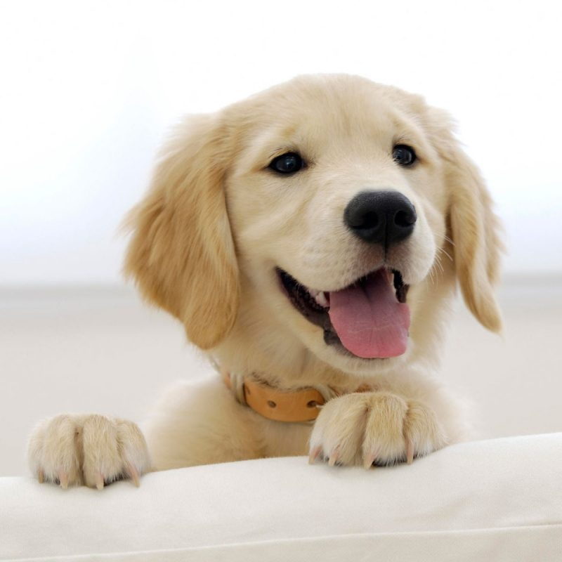 10 Most Popular Golden Retriever Puppy Wallpaper FULL HD 1080p For PC Background 2021 free download golden retriever puppy wallpapers hd wallpapers id 5009 1 800x800