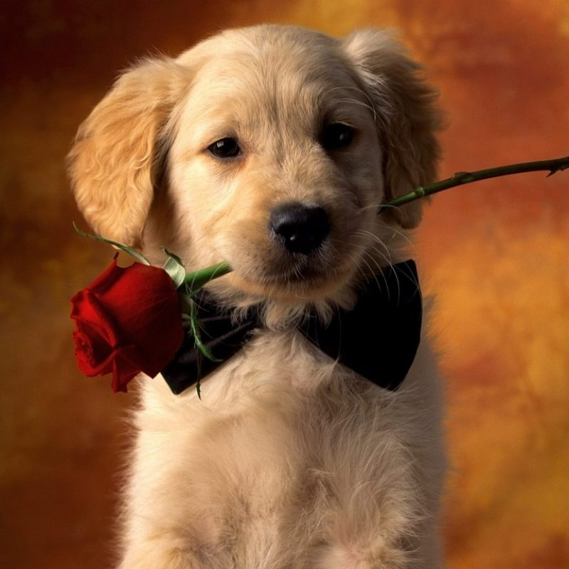 10 New Golden Retriever Puppies Wallpaper FULL HD 1920×1080 For PC Background 2018 free download golden retriever puppy with rose photo and wallpaper beautiful 800x800