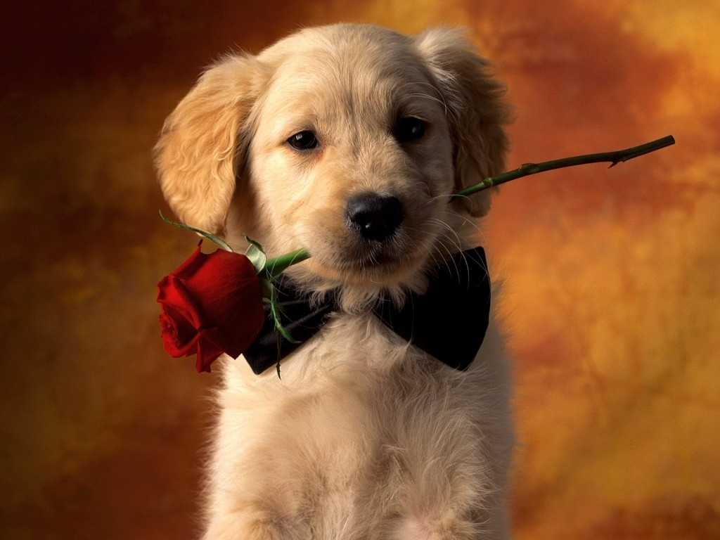 golden retriever puppy with rose photo and wallpaper. beautiful