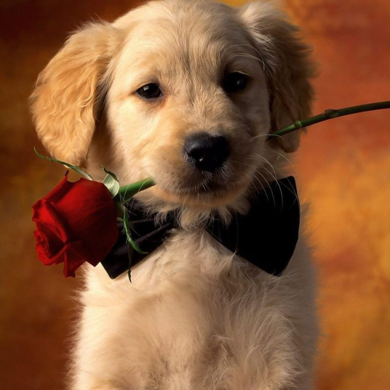 10 Most Popular Golden Retriever Puppy Wallpaper FULL HD 1080p For PC Background 2021 free download golden retriever wallpapers wallpaper cave 800x800