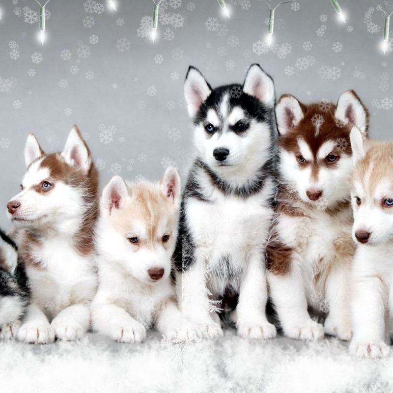 10 Most Popular Images Of Baby Huskies FULL HD 1080p For PC Background 2018 free download google image result for http stuffpoint husky image 60661 800x800