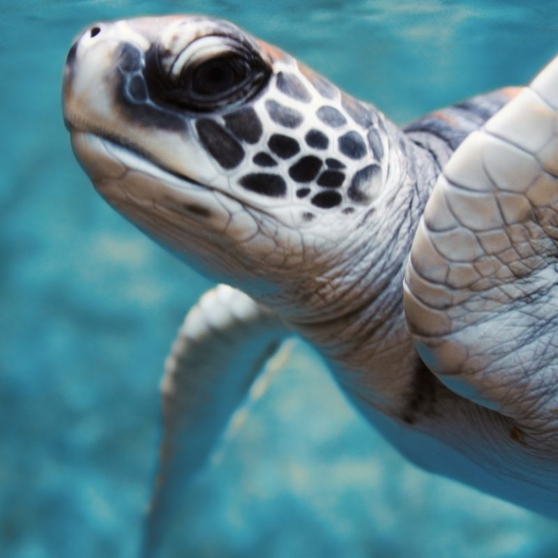 10 New Sea Turtle Iphone Wallpaper FULL HD 1080p For PC Background 2018 free download green sea turtle underwater e29da4 4k hd desktop wallpaper for 4k ultra 800x800