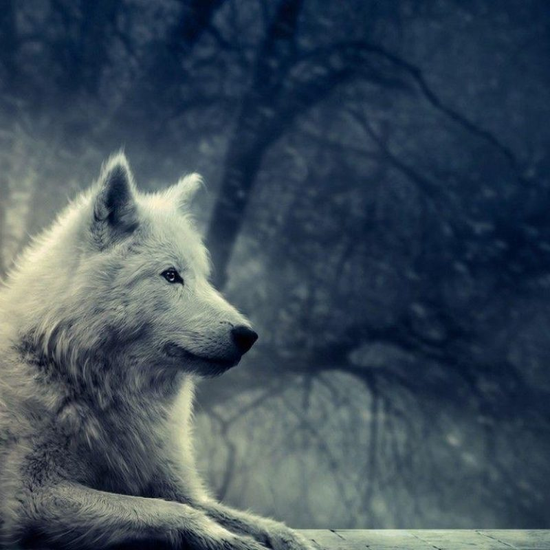 10 Most Popular Grey Wolf Wallpaper 1920X1080 FULL HD 1920×1080 For PC Desktop 2018 free download grey wolf wallpapers wallpaper cave 800x800