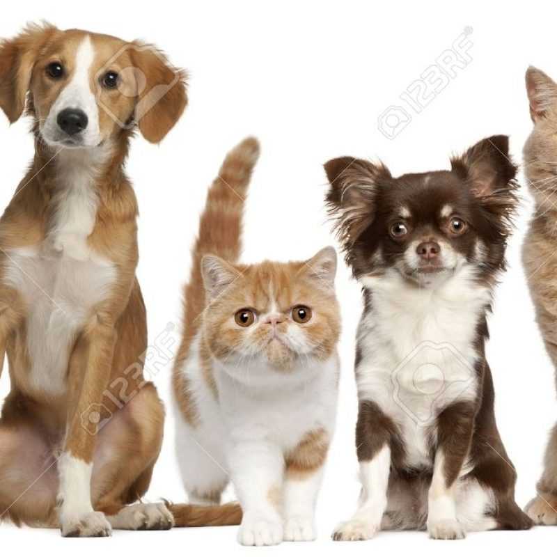 10 Best Cat And Dog Background FULL HD 1920×1080 For PC Background 2018 free download group of cats and dogs in front of white background stock photo 800x800