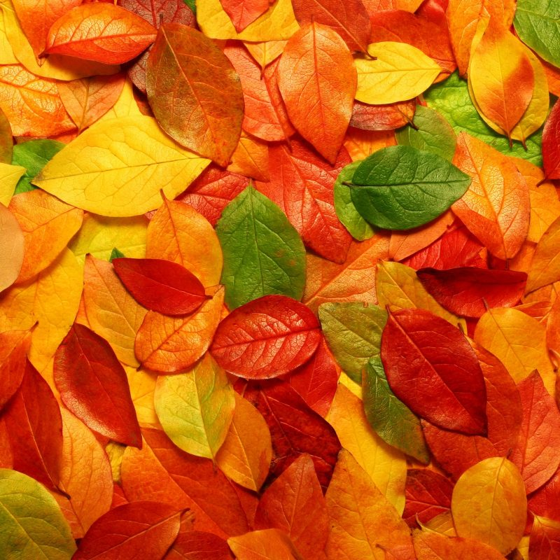 10 Most Popular Autumn Leaves Wallpaper Hd FULL HD 1920×1080 For PC Desktop 2018 free download hd autumn leaves wallpaper cool wallpapers hd wallpapers 800x800