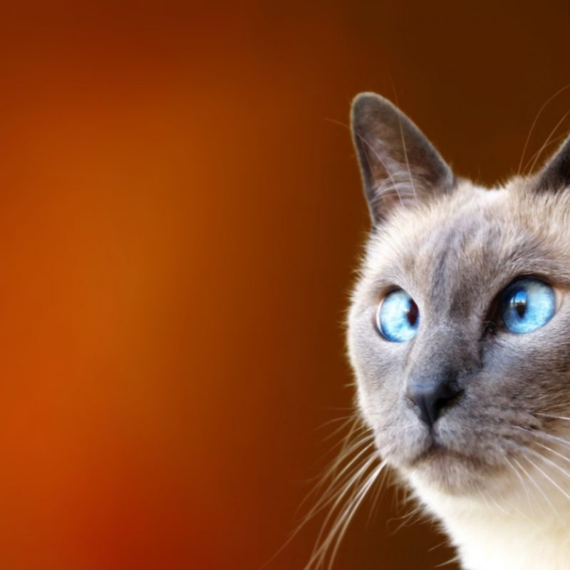 10 Top Funny Cat Desktop Wallpaper FULL HD 1080p For PC Desktop 2018 free download hd cat funny images wallpaper 800x800