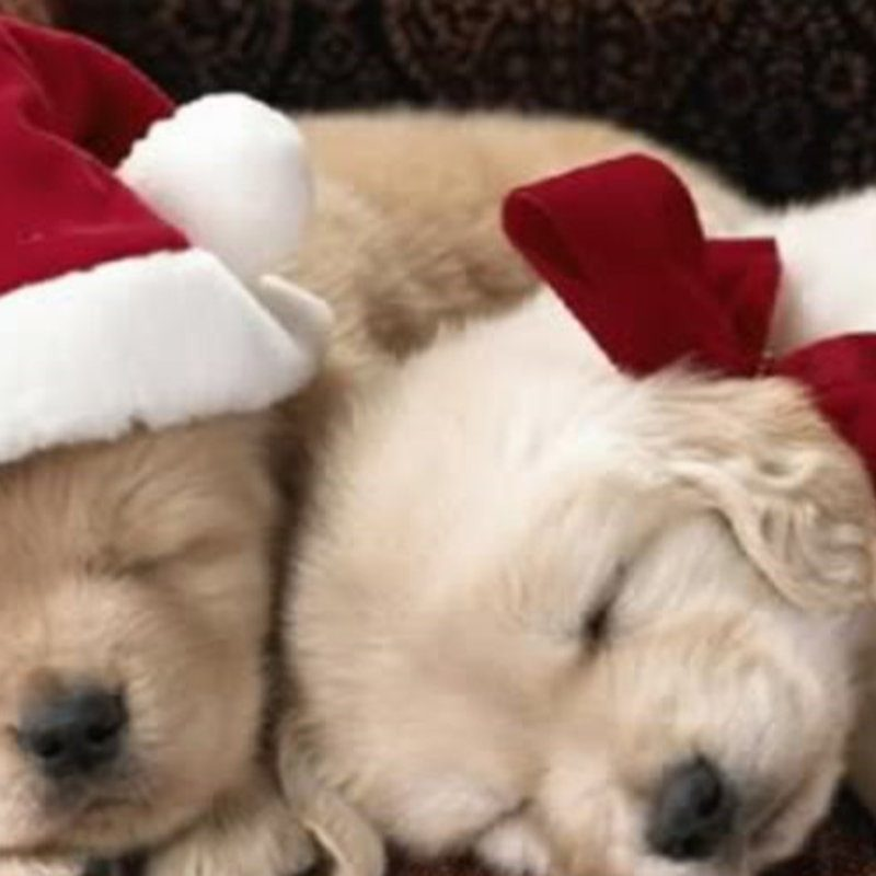 10 Top Cute Puppy Christmas Pictures FULL HD 1080p For PC Desktop 2020 free download hd cute puppy christmas images 800x800