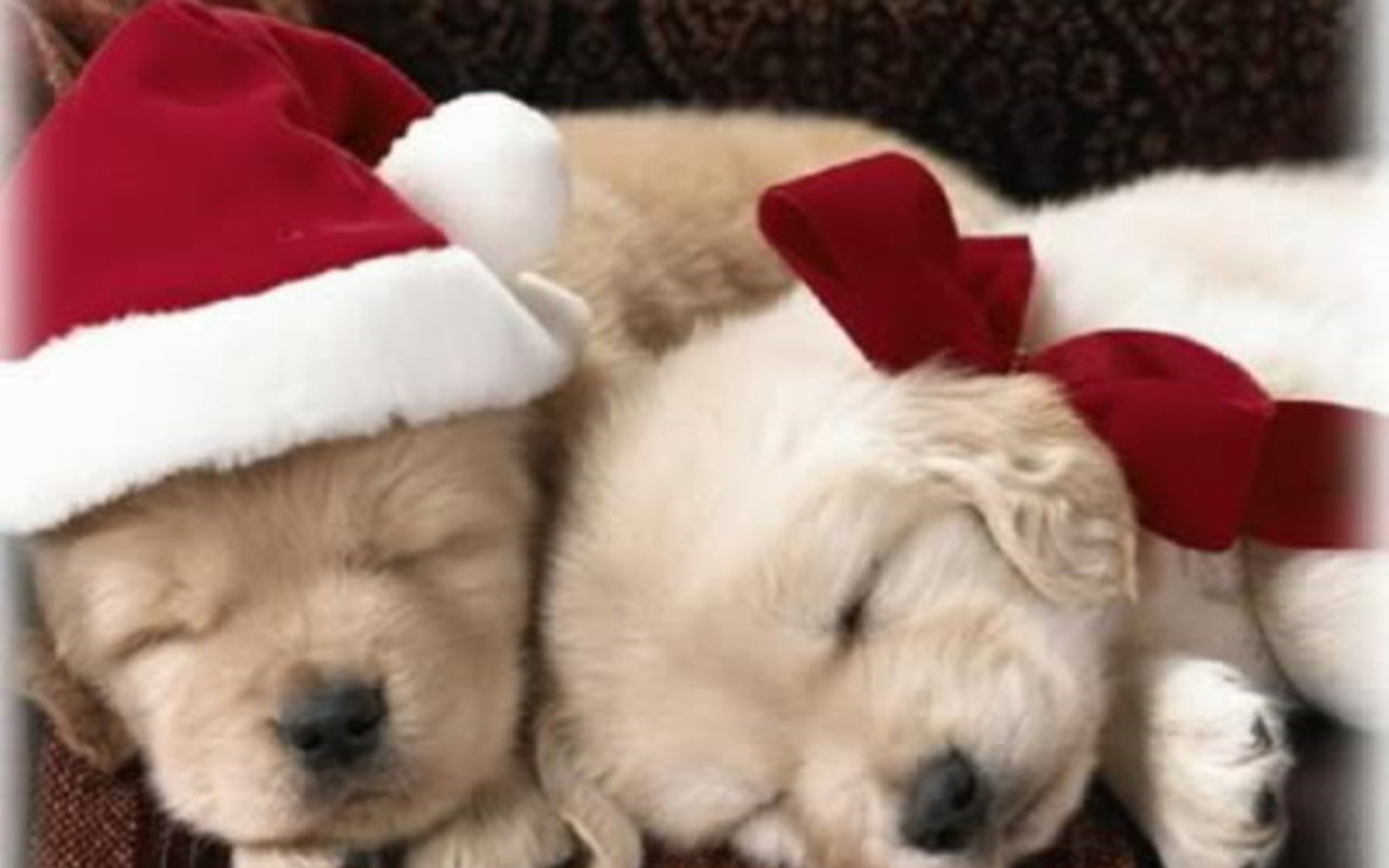 hd cute puppy christmas images