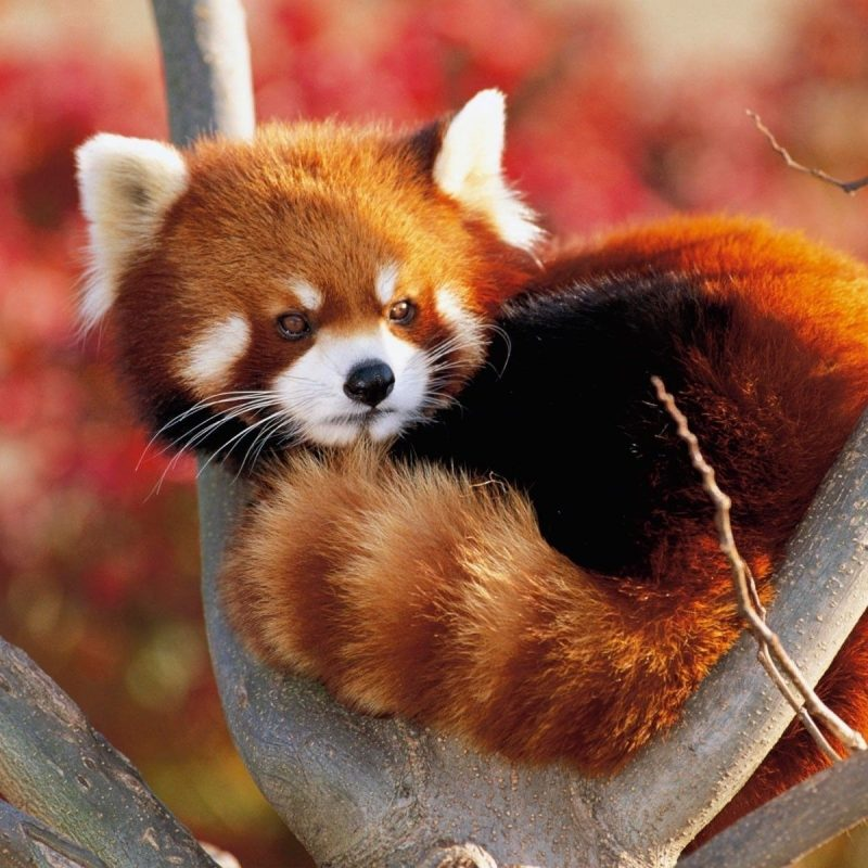 10 Latest Red Panda Wallpaper 1920X1080 FULL HD 1920×1080 For PC Desktop 2020 free download hd red panda wallpapers live red panda wallpapers py49 wp 800x800