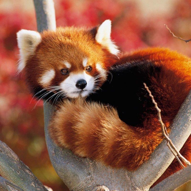 10 Latest Red Panda Wallpaper 1920X1080 FULL HD 1920×1080 For PC Desktop 2021 free download hd red panda wallpapers live red panda wallpapers py49 wp 800x800