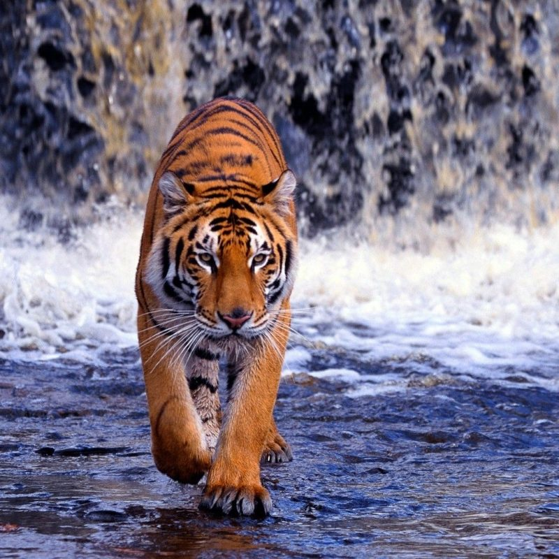 10 New Angry Tiger Wallpaper Hd 1080P FULL HD 1920×1080 For PC Desktop 2018 free download hd wallpapers 1080p tiger 5 1920x1080 walks pinterest 800x800