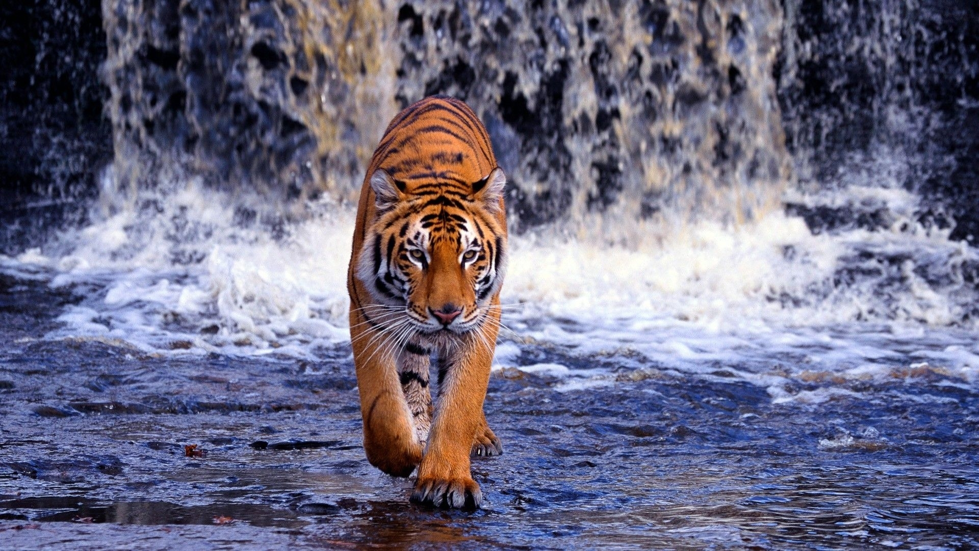 hd-wallpapers-1080p-tiger-5 (1920×1080) | walks | pinterest