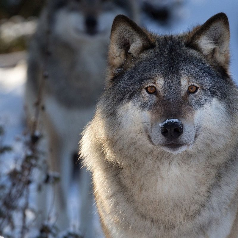 10 Most Popular Grey Wolf Wallpaper 1920X1080 FULL HD 1920×1080 For PC Desktop 2018 free download hd wolf wallpapers p 1920x1080 wolves hd wallpapers 45 wallpapers 800x800