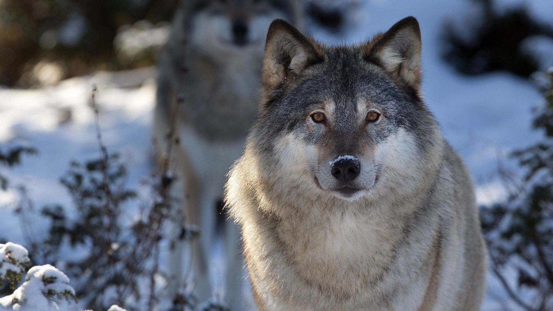 hd wolf wallpapers p 1920×1080 wolves hd wallpapers (45 wallpapers