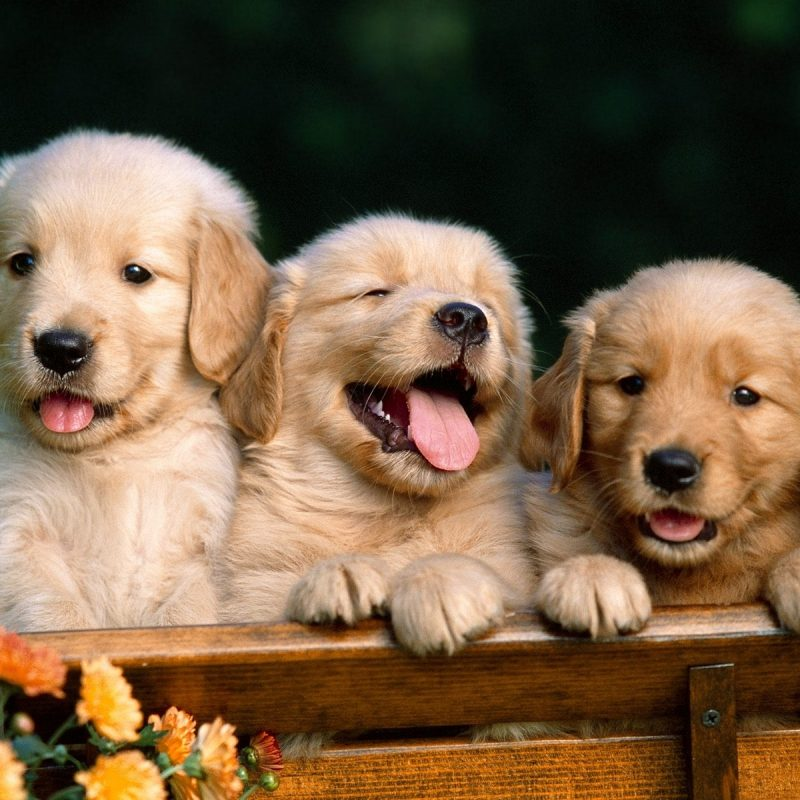 10 Most Popular Golden Retriever Puppy Wallpaper FULL HD 1080p For PC Background 2021 free download high quality golden retriever puppy wallpaper full hd pictures 1 800x800