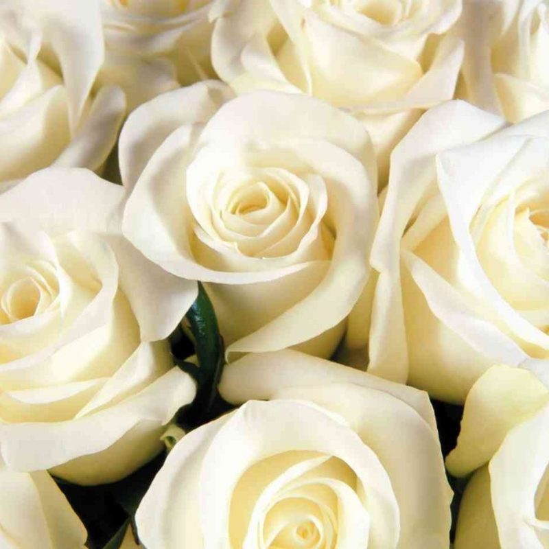10 New White Roses Background Tumblr FULL HD 1920×1080 For PC Background 2021 free download hoontoidly black and images hoontoidly pink and white roses tumblr 800x800