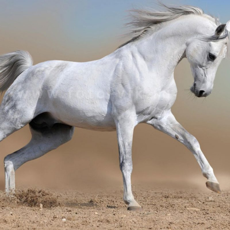 10 Latest Pictures Of White Horses Running FULL HD 1920×1080 For PC Background 2018 free download horses horse white running wallpaper hd for desktop horses hd 169 800x800