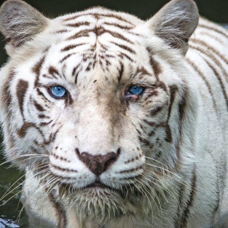 10 Most Popular Pictures Of White Tigers FULL HD 1920×1080 For PC Background 2018 free download how a genetic mistake can save white tigers youtube 800x800