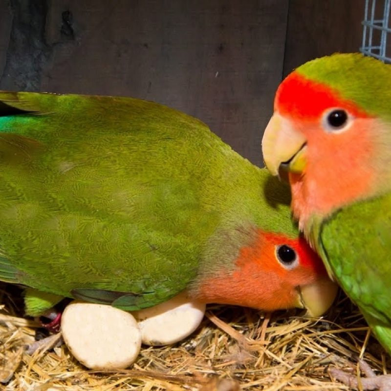 10 Top Images Of Love Bird FULL HD 1920×1080 For PC Background 2020 free download how to breed your lovebirds youtube 800x800