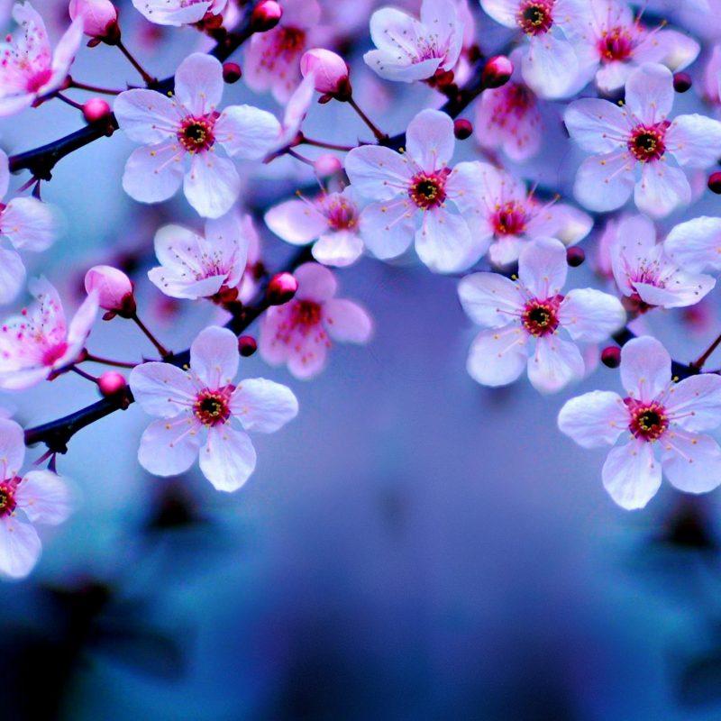 10 Best Cherry Blossom Wallpaper Desktop FULL HD 1080p For PC Desktop 2018 free download hp 85 cherry blossoms wallpapers pictures of cherry blossoms hdq 800x800