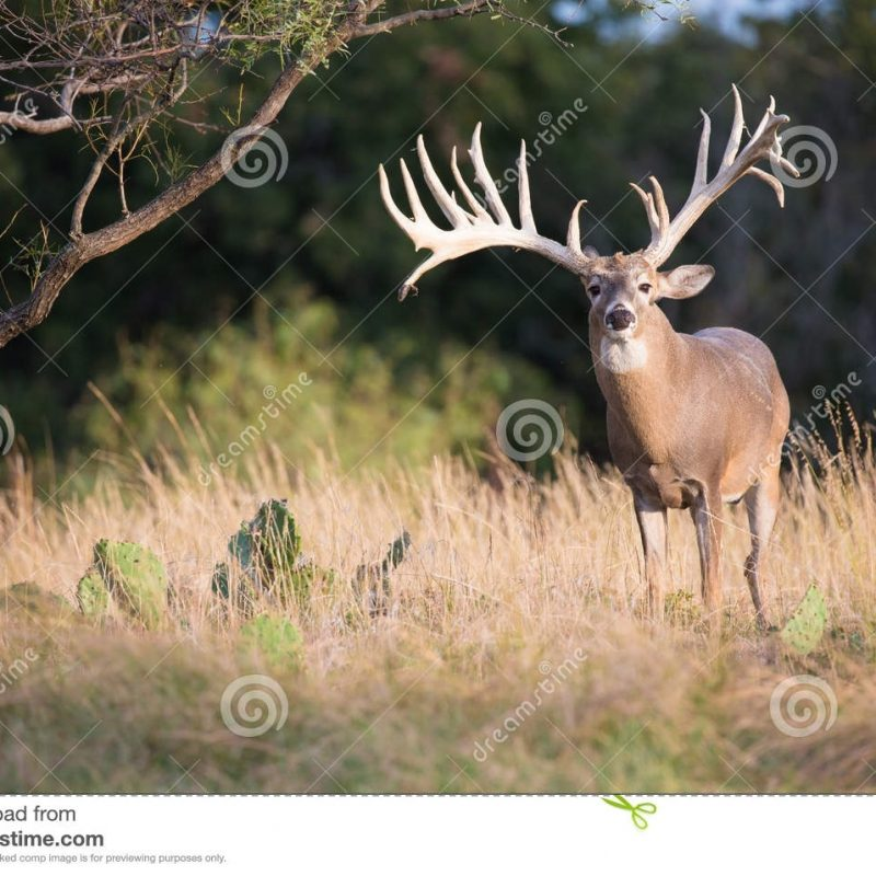 10 Most Popular Monster Whitetail Buck Pictures FULL HD 1080p For PC Desktop 2018 free download huge whitetail buck in perfect light stock photo image of ruminant 800x800