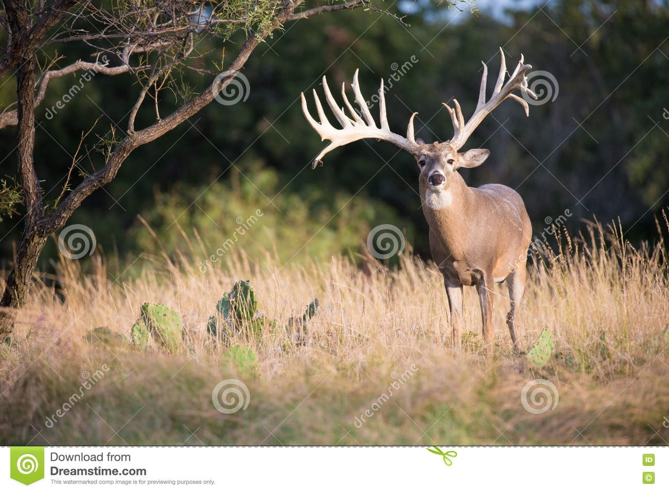 huge whitetail buck in perfect light stock photo - image of ruminant
