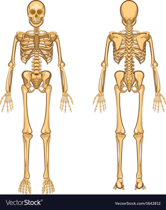 10 Most Popular Human Skelton Pictures FULL HD 1080p For PC Desktop 2020 free download human skeleton royalty free vector image vectorstock 635x800