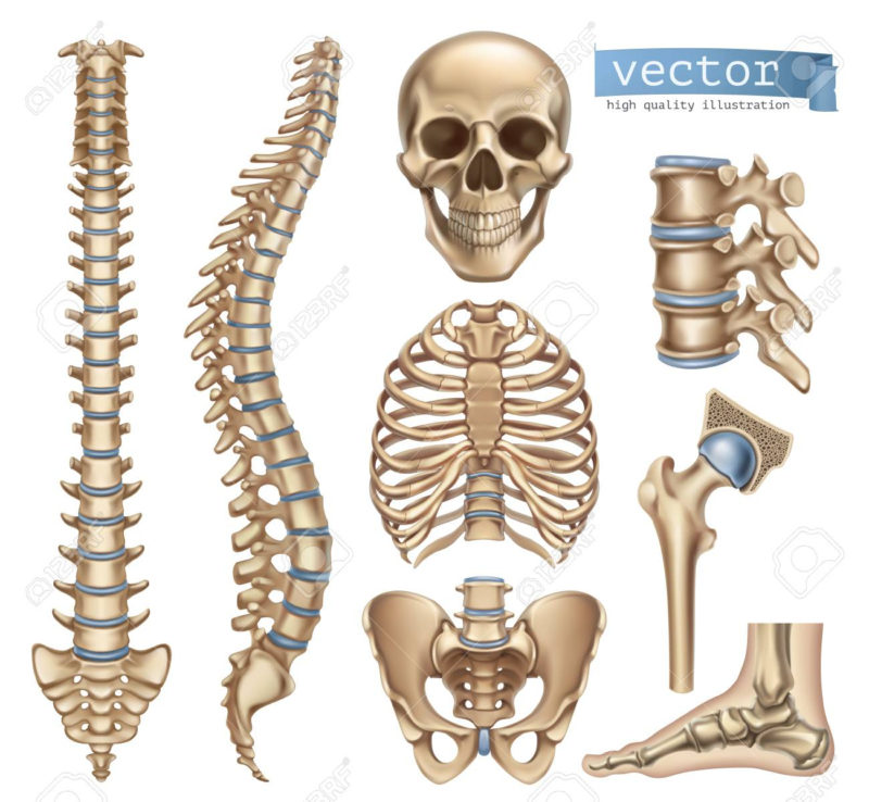 10 Most Popular Human Skelton Pictures FULL HD 1080p For PC Desktop 2020 free download human skeleton structure skull spine rib cage pelvis joints 800x738